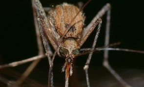 Genetically Modified Mosquitoes—Approved For Release In The US
